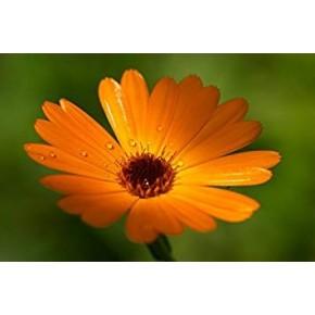 Poudre de plante médicinale de fleurs de souci